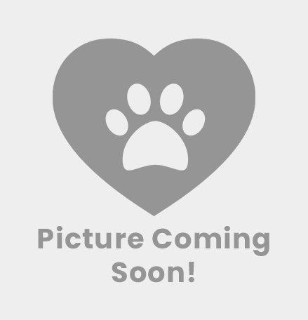 cane corso dog breeder